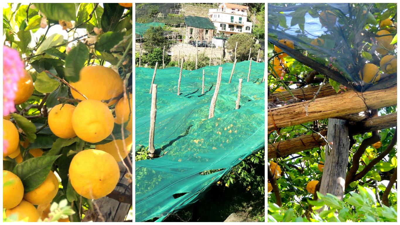 Limone di Amalfi_4
